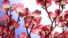 Beautiful Dogwood Flowers Wallpaper 37242