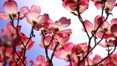 Beautiful Dogwood Flowers Wallpaper 37242