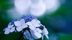 Beautiful Hydrangea Flowers 25715