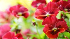 Beautiful Red Pansy Flowers Wallpaper 43227