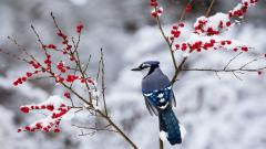 Beautiful Snow Bird Wallpaper 38533
