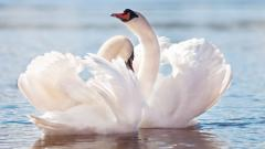 Beautiful Swan Wallpaper 28063
