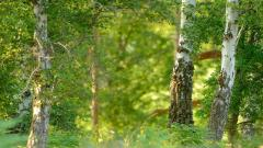 Birch Tree 25330