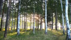 Birch Tree Background 25333