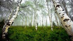 Birch Tree Wallpaper Background 25324