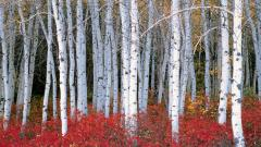 Birch Tree Desktop Wallpaper 25327