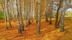 Birch Tree Wallpaper 25331