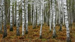 Birch Tree Wallpaper 25332