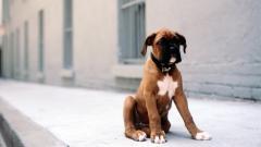 Boxer Dog Wallpaper 44281