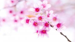 Cherry Blossom Flower 30536