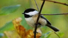 Chickadee Pictures 40078
