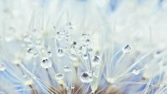 Dandelion Images 22001