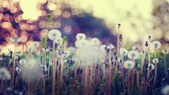Dandelion Seeds Background 42638