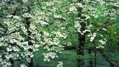 Dogwood Flowers 37247