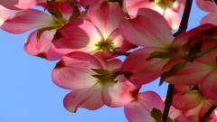 Dogwood Flowers 37248