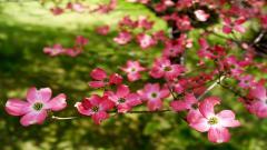 Dogwood Flowers 37252