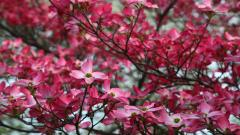 Dogwood Flowers Wallpaper 37243