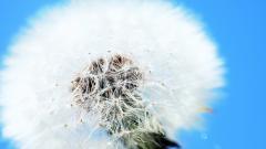 Fantastic Dandelion Seeds Wallpaper 42646