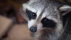 Fantastic Raccoon Wallpaper 43653