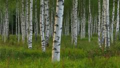 Free Birch Tree Wallpaper 25328