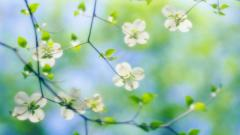 Free Dogwood Flowers Wallpaper 37253
