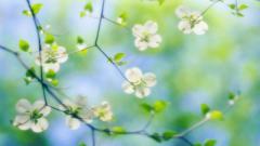 Free Dogwood Flowers Wallpaper 37253