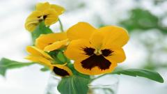 Free Pansy Flowers Wallpaper 43229