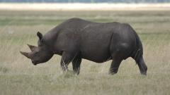 Free Rhinoceros Wallpaper 43097
