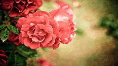Free Roses Wallpaper 26107