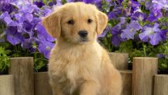 Golden Retriever Wallpaper 4533