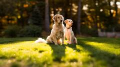 Golden Retriever Wallpaper 4538