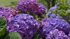 Hydrangea Flowers 25716