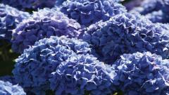 Hydrangea Wallpapers 25712