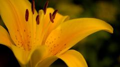 Lily Flowers Wallpaper 30778