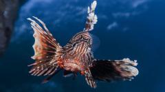 Lionfish Close Up Wallpaper 44698