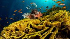 Lionfish Wallpaper 44701