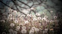 Lovely Dandelion Seeds Wallpaper 42637