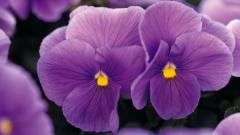 Lovely Pansy Flowers Wallpaper 43228