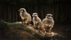 Meerkat Backgrounds 38381