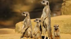 Meerkat Wallpapers 38385