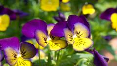 Pansy Flowers Wallpaper 43223