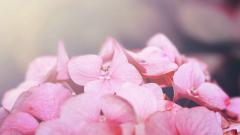 Pink Macro Wallpaper 37842