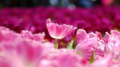 Pink Macro Wallpaper 37855