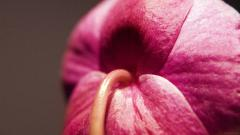 Pink Macro Wallpapers 37836