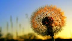 Pretty Dandelion Wallpaper 42631