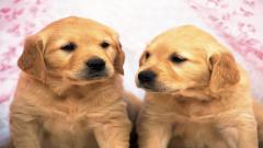 Puppy Wallpaper 25158