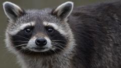 Raccoon Close Up Wallpaper 43650