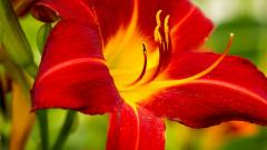Red Lily Flowers 30790