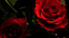 Red Roses Wallpaper 26106