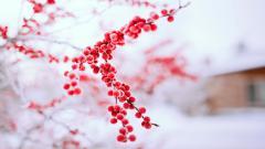 Red Winter Berries Wallpaper 44409